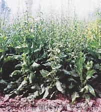 2017菊苣牧草种子芽率高 质量保证