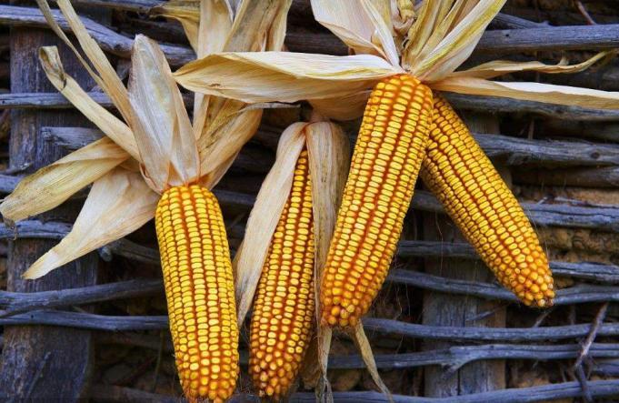 甘肃靖远干玉米大量出售量大从优,诚信合作