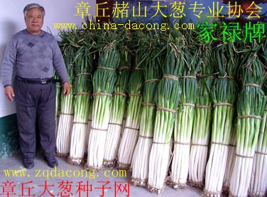 山东大葱种子 章丘大梧桐 家禄二号 中华巨葱种