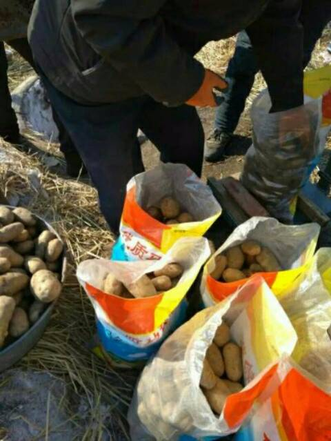 北林幸福乡荷兰十五,尤金马铃薯种薯