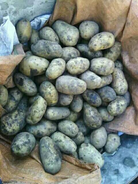 北林土豆 大量出售黑龙江脱毒马铃薯种子