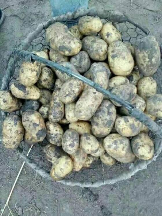 北林马铃薯种薯 荷兰十五,荷兰七