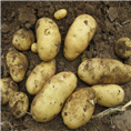 黑龙江讷河兴佳2土豆 脱毒马铃薯