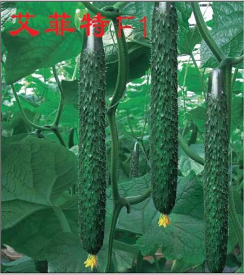 寿光艾菲特黄瓜种子
