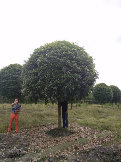 郫县绿化苗木 出售米径12公分桂花树