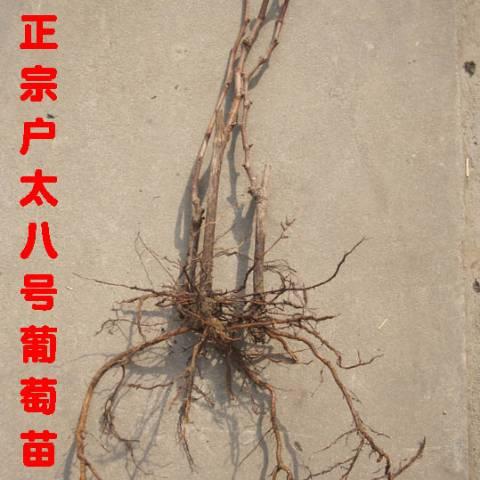 陕西户县精心育种优质正宗户太八号葡萄苗
