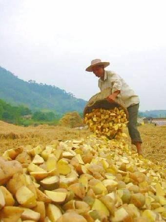 北京大兴马铃薯种薯 荷兰七号种子