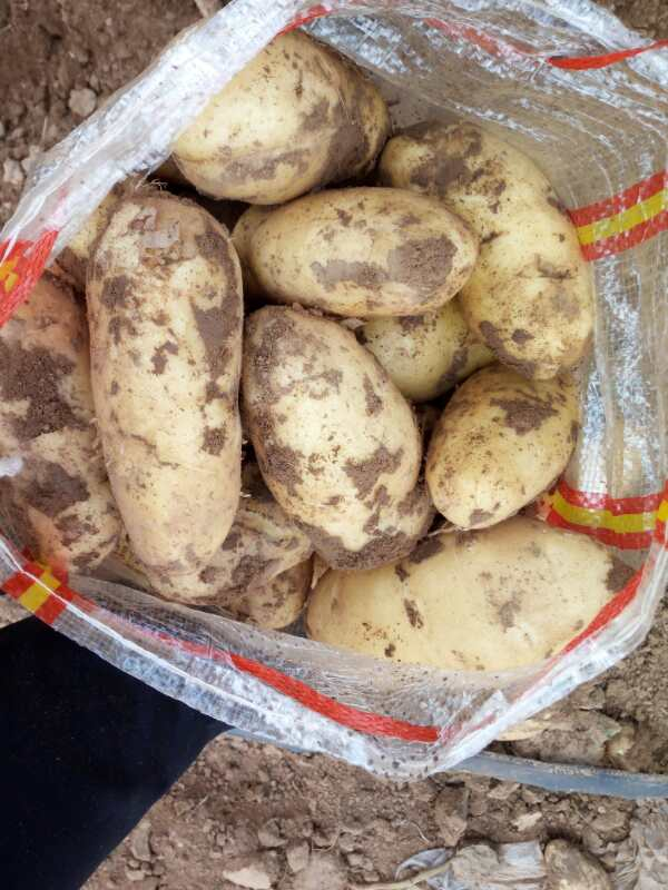 北林大量出售脱毒马铃薯种子,荷兰七号