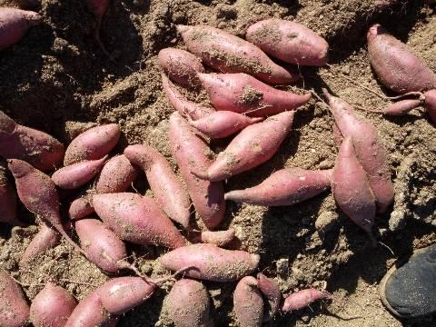 泗水育苗基地 西瓜红红薯苗
