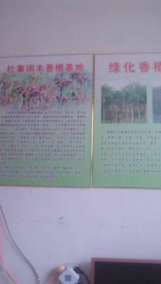 山东宁津香椿树苗规格0.4米以上 大小树都有