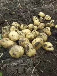 黑龍江省訥河市脫毒馬鈴薯的主產區