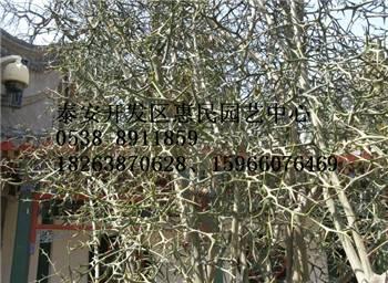 山东高密惠民园艺中心出售优质枸橘苗