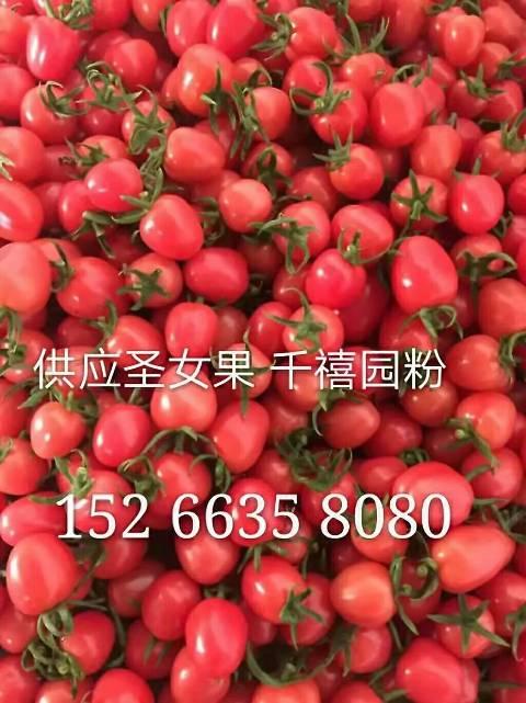 2018莘县圣女果千禧贝贝园粉红串