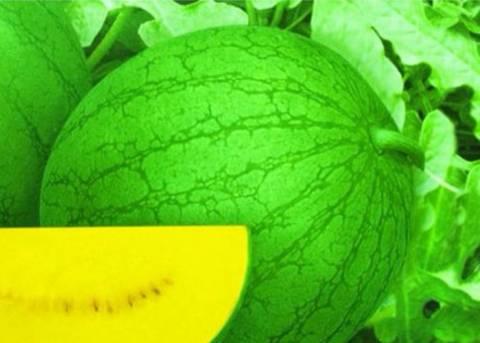最好的黄瓤礼品西瓜品种--纯品黄小玉