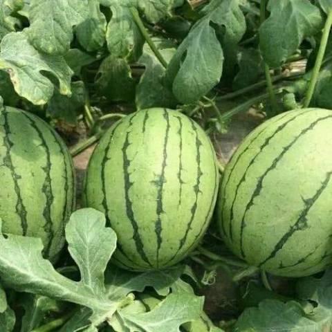 最好的礼品西瓜品种--纯品红玉西瓜
