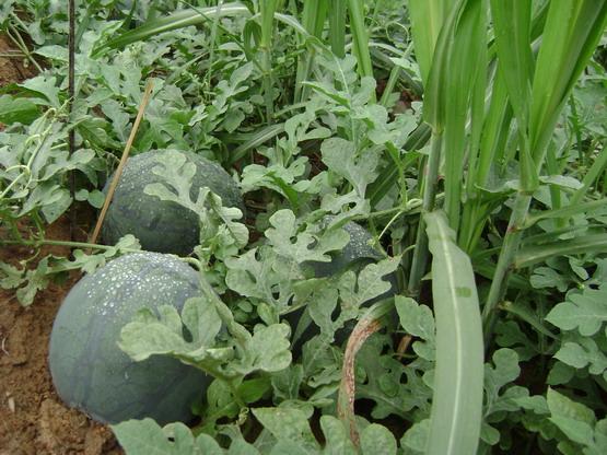 探讨:西瓜接茬蔬菜增收模式