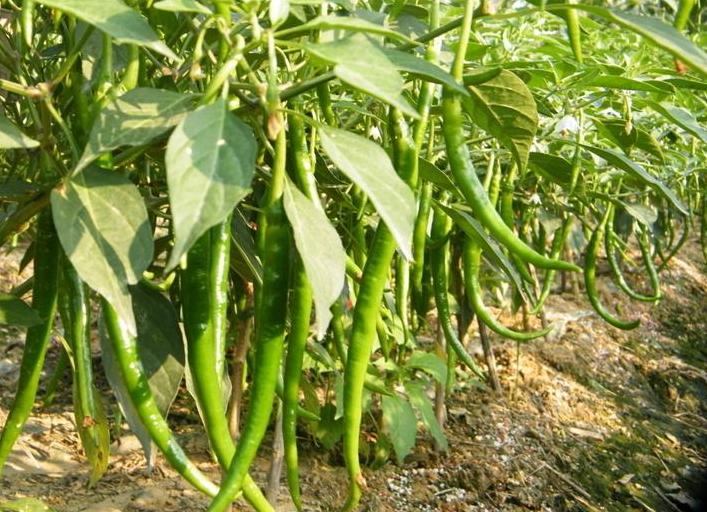 西瓜辣椒、玉米间作套种技术