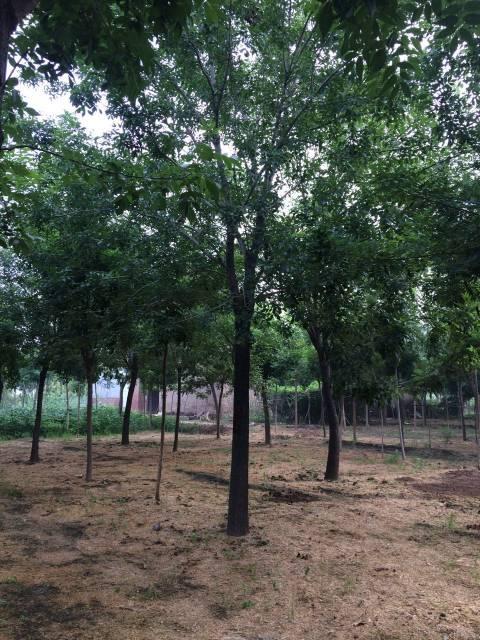 庆云绿化苗木 专供:大规格白腊、国槐