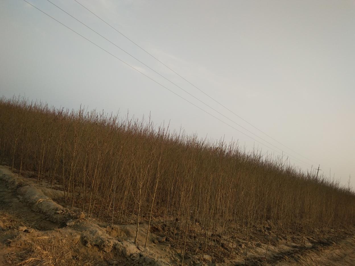山东冠县黄金冠、金黄后育苗基地