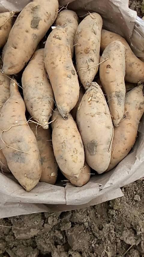 广东红薯  有大量厂薯供应