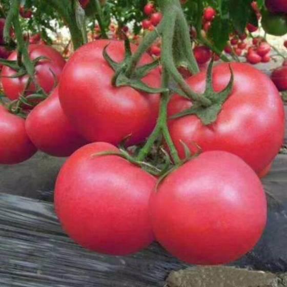青州粉艳734番茄种子 秋延拱棚和温室, 早熟