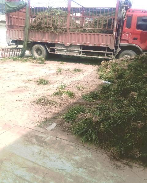 曹县精心培育而成的一种绿化专用草