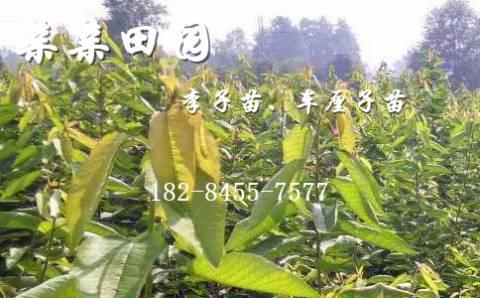 广元大樱桃苗哪里有?2万株四川大樱桃树苗供应