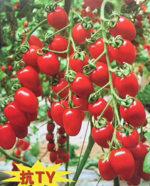红色樱桃番茄种子抗病毒高产—红都禧