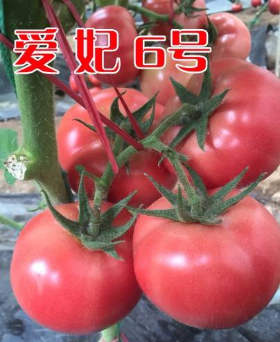 越冬早春抗死棵高抗TY粉果西红柿种子—爱妃6号