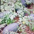 上洋镇黑美人西瓜是上洋西瓜其中一个品牌
