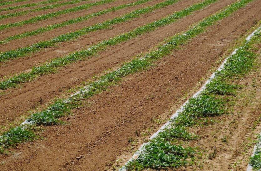 近期低温降雨天气对西瓜产地定植的影响