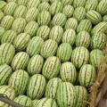 宁夏石头瓜,大量供应中