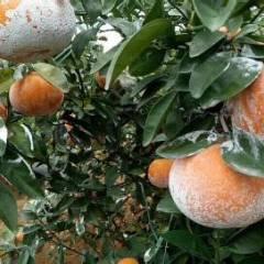 扶绥县瓜果交易市场常年供应各种脐橙