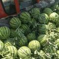 开封万亩西瓜种植基地,品种多