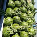 漫河西瓜现已大量上市,主要品种京欣
