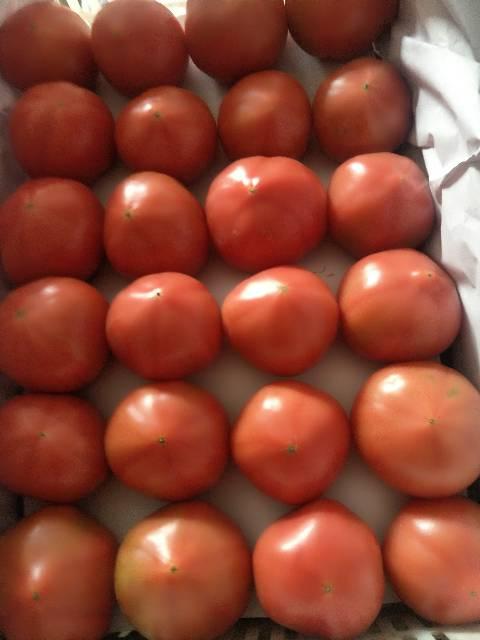 昌黎西红柿大量上市,本地柿子口感好
