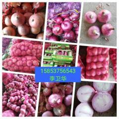 常年供应各种品种各种规格的洋葱,分拣加工包装,天天有货。