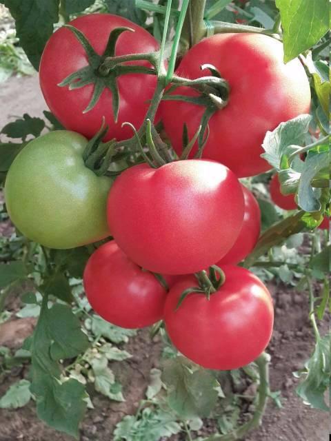 寿光荷兰引进,无限生长型 安吉丽娜粉红番茄种