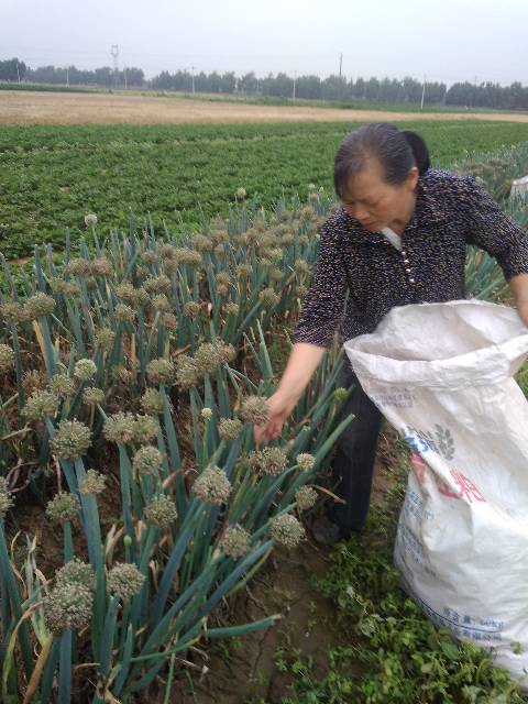 新野樊集范长吉6月新冠军,豫都二大葱种子