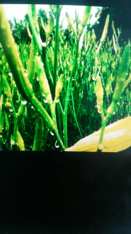 柘城此属优质黄花菜种苗,花早期长