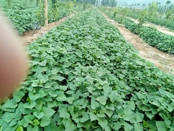 山东嘉祥大量供应商薯19.龙久,西瓜红地瓜苗