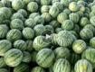台州温岭地区现有8424西瓜,特小凤代出售