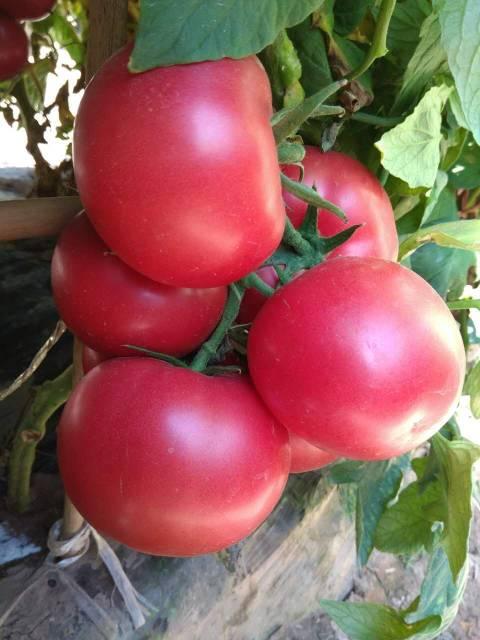 2018海淀番茄种子 中农二号-番茄种子