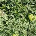 白城西瓜现在大量上市,万亩新开园