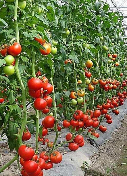 7845-番茄种子