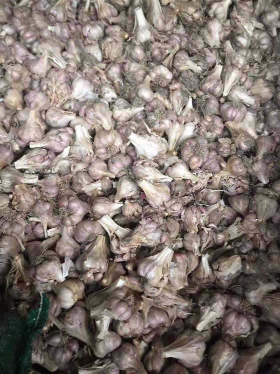 四川彭州大蒜品种齐全,软叶蒜,正月早