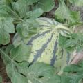 南县自家多年大棚种植8424西瓜,瓜甜可口