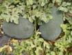 蒲城种植10亩黑皮西瓜,成熟期为7月15号