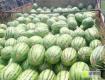 库伦旗冠龙西瓜将在7月份大量上市