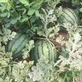 平度大泽山附近有大量西瓜上市啦